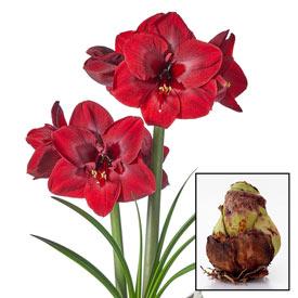 Carmen Amaryllis 26/28cm Bulb