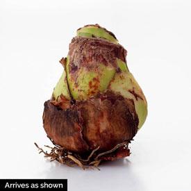 Gervase Amaryllis 26/28cm Bulb