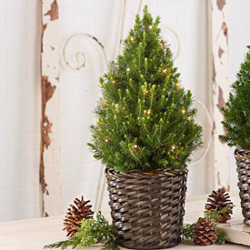 Simple Living Spruce