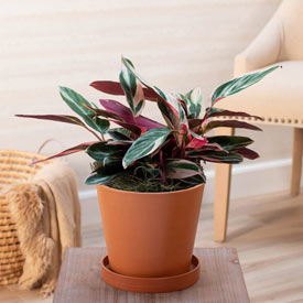 Stromanthe Triostar