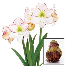 Picotee Amaryllis 26/28cm Bulb
