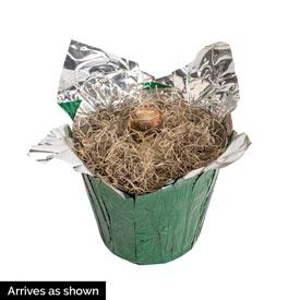 Pajama Party Amaryllis Single in Foil Wrapped Pot