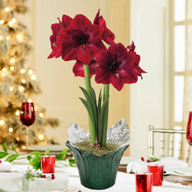 Red Pearl Amaryllis Single in Foil Wrapped Pot