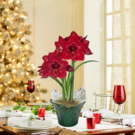 Red Reality Amaryllis in Foil Wrapped Pot