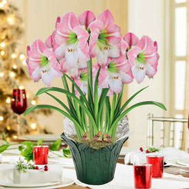 Apple Blossom Amaryllis in Foil Wrapped Pot