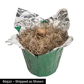 Aquaro Amaryllis in Foil Wrapped Pot