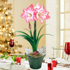 Blossom Peacock Amaryllis in Foil Wrapped Pot