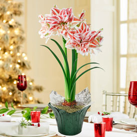 Dancing Queen Amaryllis in Foil Wrapped Pot