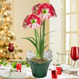 Flamenco Queen Amaryllis in Foil Wrapped Pot