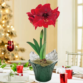 Miracle Amaryllis in Foil Wrapped Pot