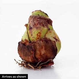 Apple Blossom Amaryllis 26/28cm Bulb