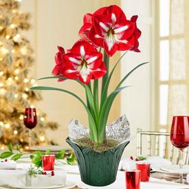 Stargazer Amaryllis in Snowflake Banded Pot