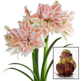 Dancing Queen Amaryllis 28/30cm Bulb
