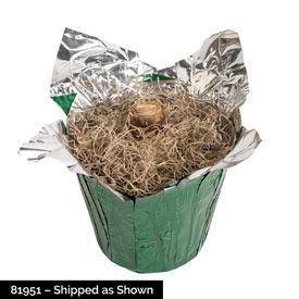 Princess Claire Amaryllis in Foil Wrapped Pot