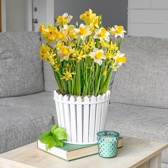 Picket Fence Daffodil Bulb Garden