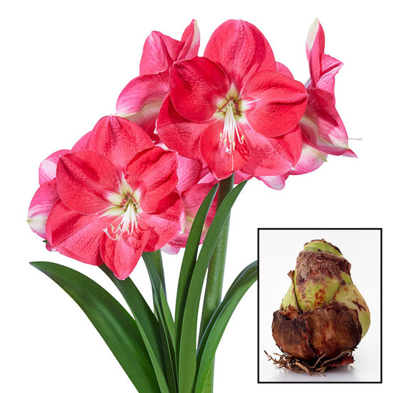 Candy Queen Amaryllis 26/28cm Bulb
