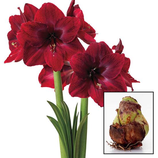 Red Pearl Amaryllis 26/28cm Bulb