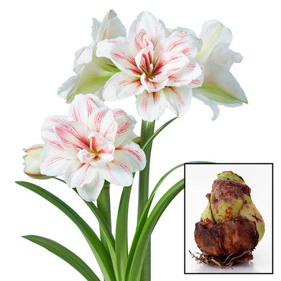 Aquaro Amaryllis 26/28cm Bulb