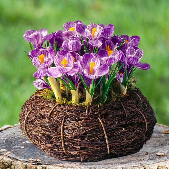 Bird's Nest Purple Crocus Bulb Garden