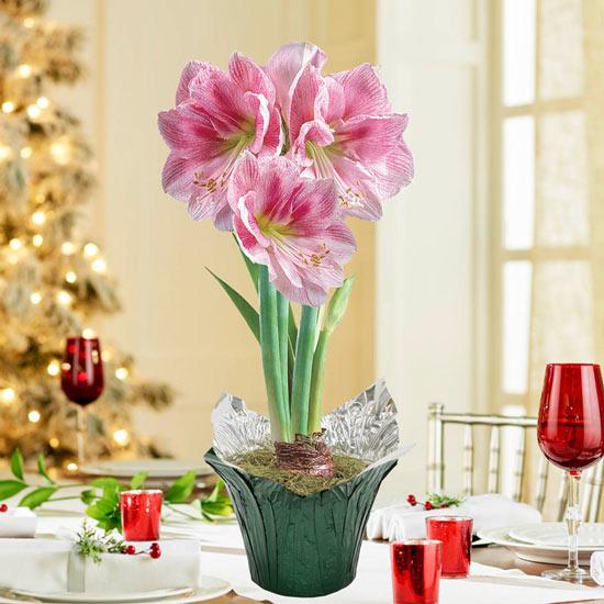 Blushing Bride Amaryllis Single in Foil Wrapped Pot