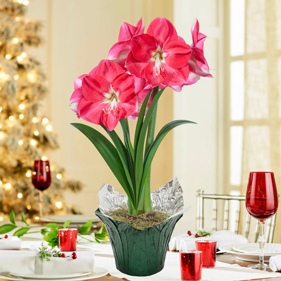 Candy Queen Amaryllis Single in Foil Wrapped Pot
