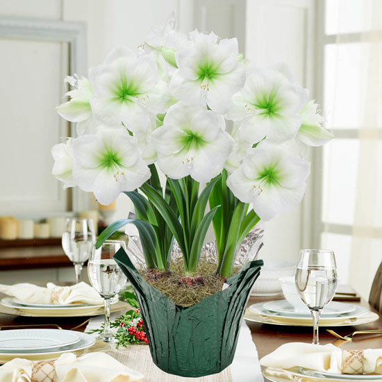 Christmas Gift Amaryllis in Foil Wrapped Pot