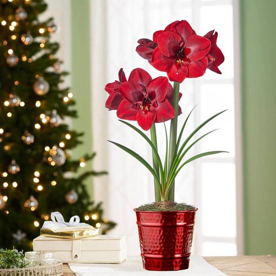 Carmen Amaryllis Single in Red Pot