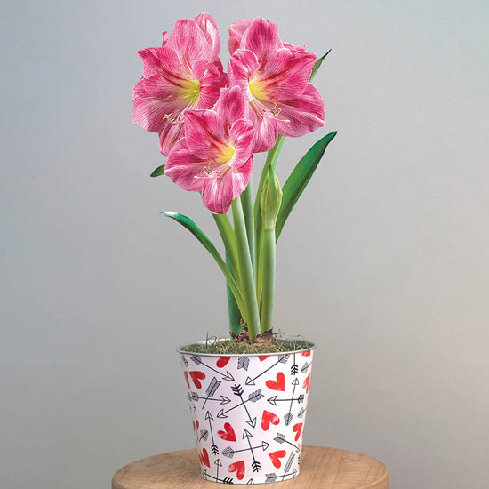 Candy Floss Amaryllis in Love Hearts Pot