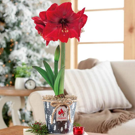 Miracle Amaryllis in Cardinal Tag Pot