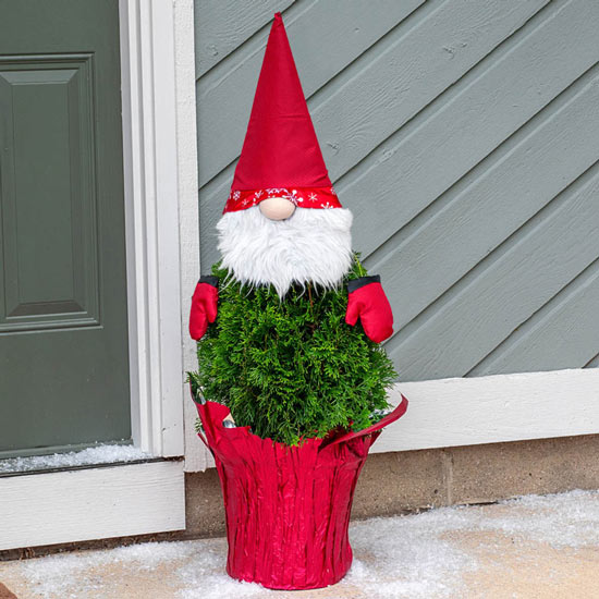 Holiday Gnome Arborvitae Tree