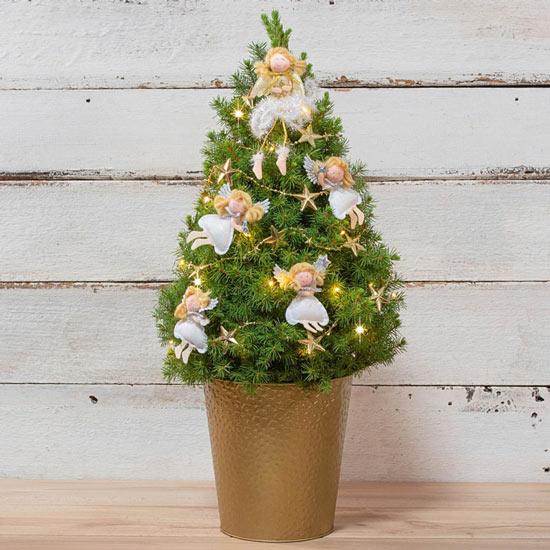 Golden Glow Angel Spruce Tree