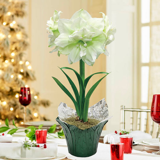 Double Marilyn  Amaryllis in Foil Wrapped Pot