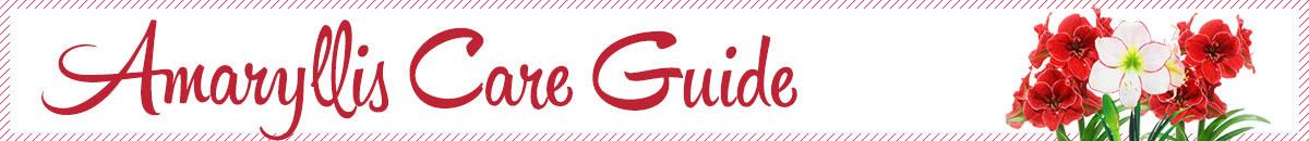 Amaryllis Care Guide
