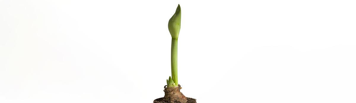 Planting Amaryllis Indoors