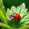 Sta-HomeT Lady Beetles