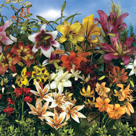 All Summer Lily Mix