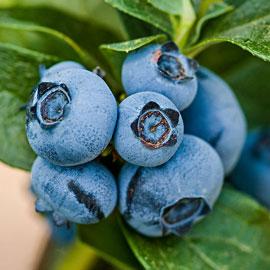 Patriot Jumbo Blueberry