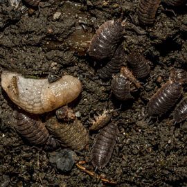 Garden Pest Bait - Pest Control Granules