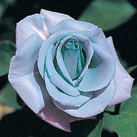 Blue Girl Hybrid Tea Rose