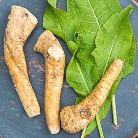 Horseradish Hybrid
