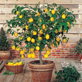 Dwarf Meyer Lemon - 1 Potted Plant