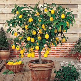 Dwarf Meyer Lemon