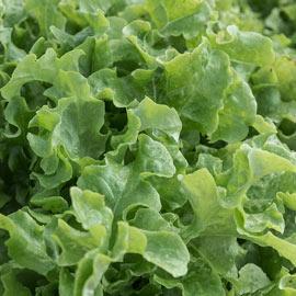Salad Bowl Leaf Lettuce