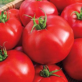 Big Beef Hybrid Tomato