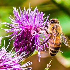 Bee-Allure<sup>™</sup> Honey Bee Attractant