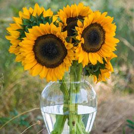 ProCut Orange Hybrid Sunflower