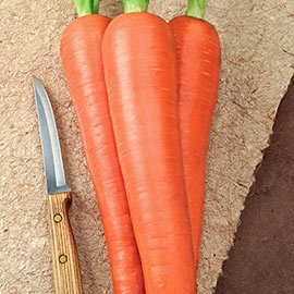 Envy Carrot