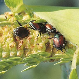 beetleJUS!®Beetle Control for Ornamentals and Vegetables