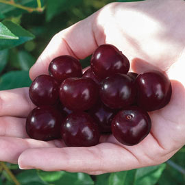 Juliet<sup>™</sup> Dwarf Cherry