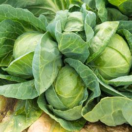 Tiara Hybrid Cabbage